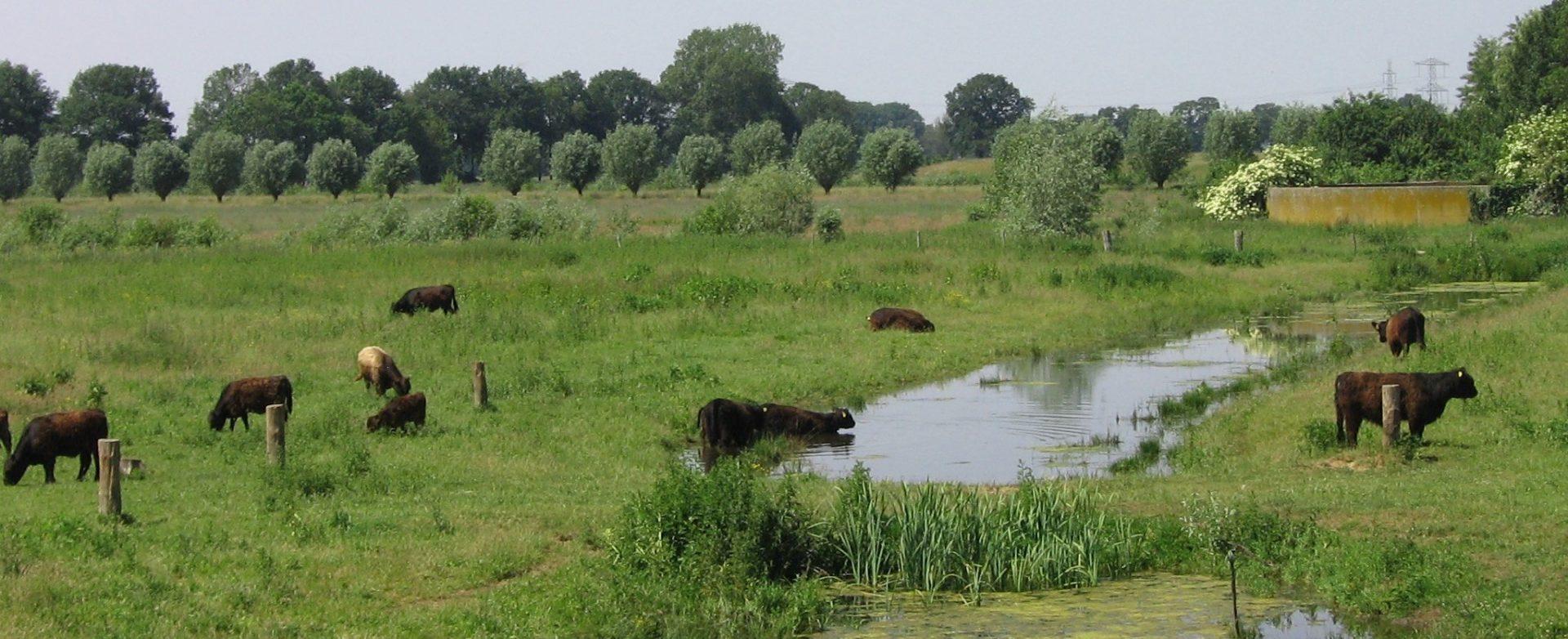 Koeien water 2