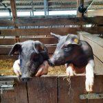 Nieuwsgierige varkens