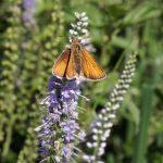 Vlinders Vechterweerd