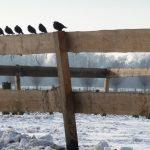 Vogels op hek